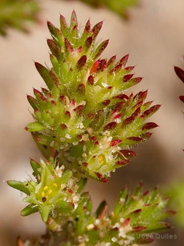 plante rare dans photos Loeflingia_hispanica
